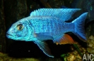 Sciaenochromis freyeri