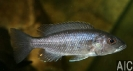 Sciaenochromis fryeri (F)