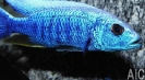 Sciaenochromis fryeri Iceberg M