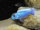 Sciaenochromis fryeri Likoma M