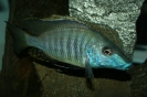 Taeniolethrinops laticeps (maschio)