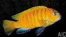 Tropheops sp Red Fin Hongi