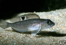 Neolamprologus kungweensis - Maschio