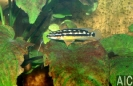 Julidochromis sp.